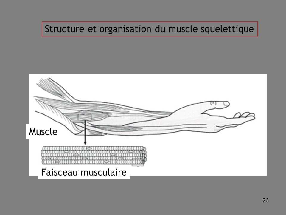 23 Faisceau musculaire Muscle Structure et organisation du muscle squelettique