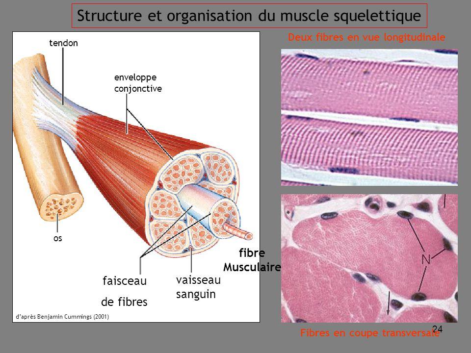 24 tendon os vaisseau sanguin faisceau de fibres enveloppe conjonctive fibre Musculaire Deux fibres en vue longitudinale Fibres en coupe transversale d'après Benjamin Cummings (2001) Structure et organisation du muscle squelettique