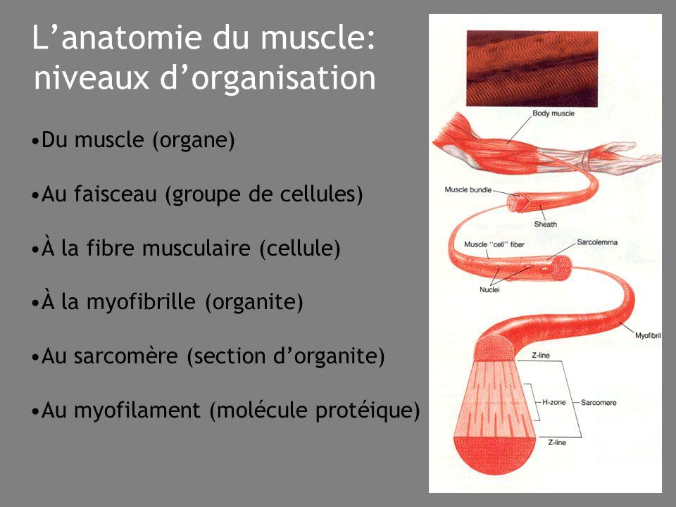 25 L'anatomie du muscle: niveaux d'organisation Du muscle (organe) Au faisceau (groupe de cellules) À la fibre musculaire (cellule) À la myofibrille (organite) Au sarcomère (section d'organite) Au myofilament (molécule protéique)