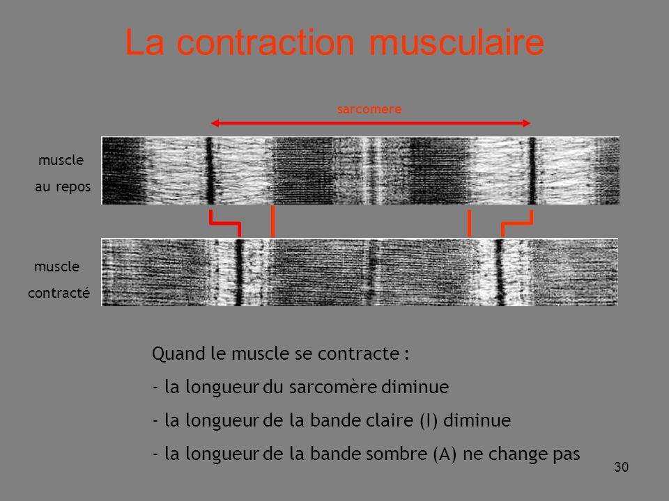 30 Quand le muscle se contracte : - la longueur du sarcomère diminue - la longueur de la bande claire (I) diminue - la longueur de la bande sombre (A) ne change pas muscle au repos muscle contracté sarcomere La contraction musculaire