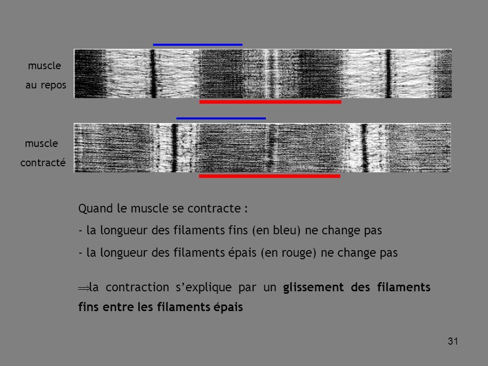 31 muscle au repos muscle contracté Quand le muscle se contracte : - la longueur des filaments fins (en bleu) ne change pas - la longueur des filaments épais (en rouge) ne change pas  la contraction s'explique par un glissement des filaments fins entre les filaments épais