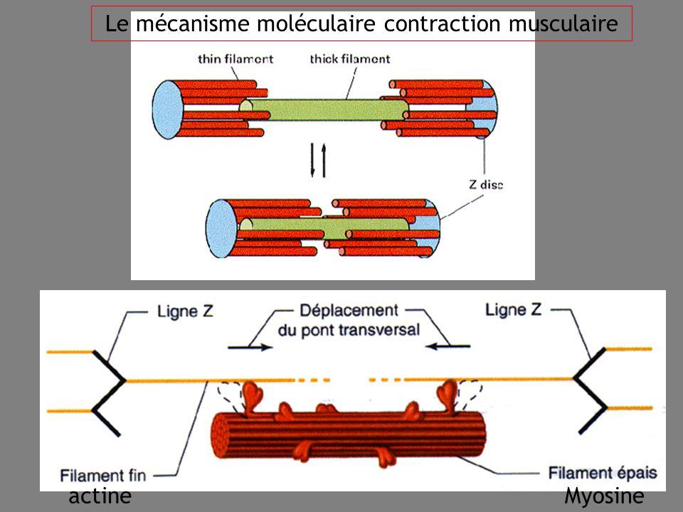 32 actineMyosine Le mécanisme moléculaire contraction musculaire