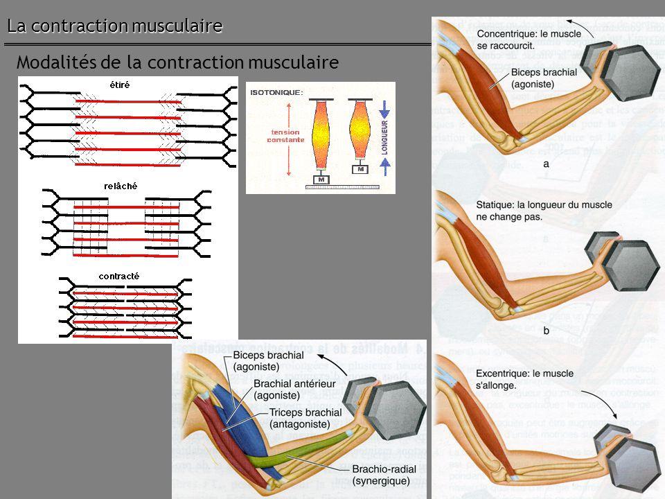 35 Modalités de la contraction musculaire La contraction musculaire