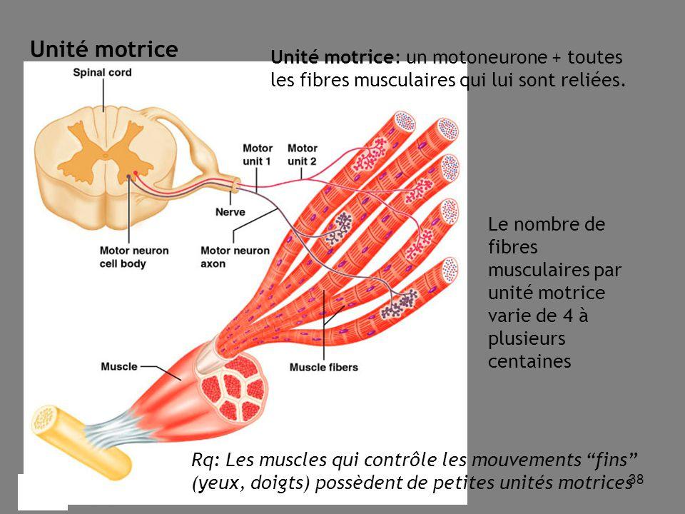 38 Unité motrice: un motoneurone + toutes les fibres musculaires qui lui sont reliées.