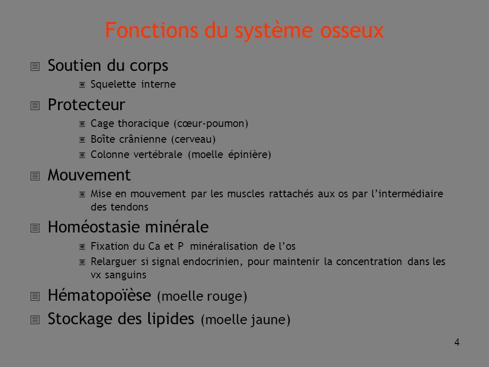 4 Fonctions du système osseux  Soutien du corps  Squelette interne  Protecteur  Cage thoracique (cœur-poumon)  Boîte crânienne (cerveau)  Colonne vertébrale (moelle épinière)  Mouvement  Mise en mouvement par les muscles rattachés aux os par l'intermédiaire des tendons  Homéostasie minérale  Fixation du Ca et P minéralisation de l'os  Relarguer si signal endocrinien, pour maintenir la concentration dans les vx sanguins  Hématopoïèse (moelle rouge)  Stockage des lipides (moelle jaune)