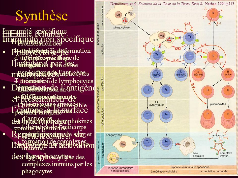Immunité spécifique 3 phases inductioninduction –Présentation de l 'antigène par les macrophages –Reconnaissance et activation par les lymphocytes T 4 amplificationamplification –Prolifération : clone –Différenciation lymphocytes B en plasmocytes : immunité humorale lymphocytes T 8 en T cytolytiques : immunité cellulaire expressionexpression –Libération d 'anticorps par les plasmocytes –Libération de lymphokines par les T cytolytiques