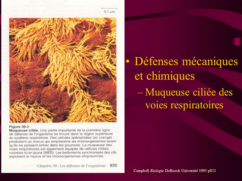 Immunité naturelle ou non spécifique Défenses mécaniques –Peau et muqueuses Défenses chimiques –Sécrétions externes larmes, mucus, salive… Défenses ce