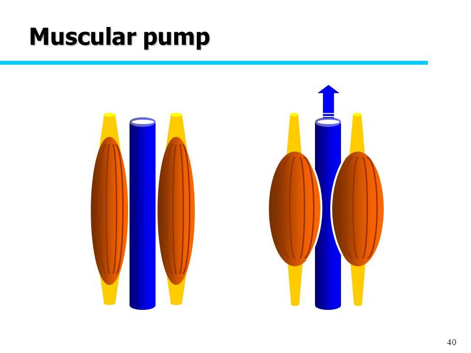 40 Muscular pump