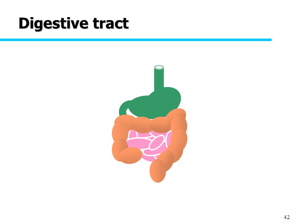 42 Digestive tract