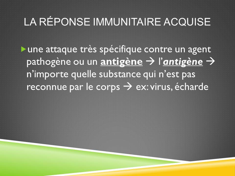 LYMPHOCYTES B EN ACTION  Lymphocytes B reconnaissent les antigènes  produisent les anticorps afin de les combattre Anticorps  se lient aux antigènes et aux agents pathogènes pour les détruire