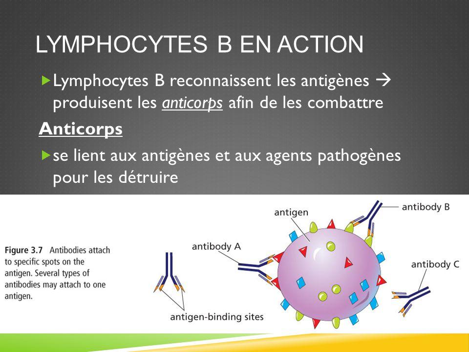 LES LYMPHOCYTES T EN ACTION  Un globule blanc reconnaît l'antigène ou l'agent pathogène et envoie des signaux vers de nouvelles cellules nommées lymphocytes T  Le Lymphocyte T auxiliaire reconnaît la présence d'agent pathogène ou d'antigène et va activer les lymphocytes B  Au deuxième type de lymphocyte T nommé lymphocyte T cytotoxique agit indépendamment pour détruire les antigènes ou agents pathogènes
