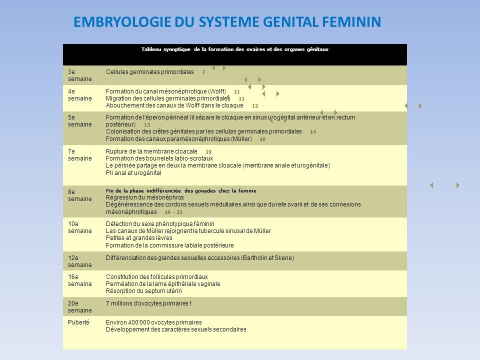 Tableau synoptique de la formation des ovaires et des organes génitaux 3e semaine Cellules germinales primordiales 7 4e semaine Formation du canal més