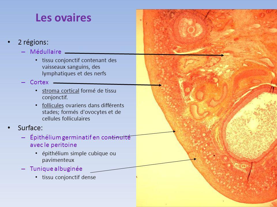 Les ovaires 2 régions: – Médullaire tissu conjonctif contenant des vaisseaux sanguins, des lymphatiques et des nerfs – Cortex stroma cortical formé de