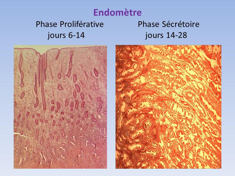 Endomètre Phase Proliférative Phase Sécrétoire jours 6-14 jours 14-28
