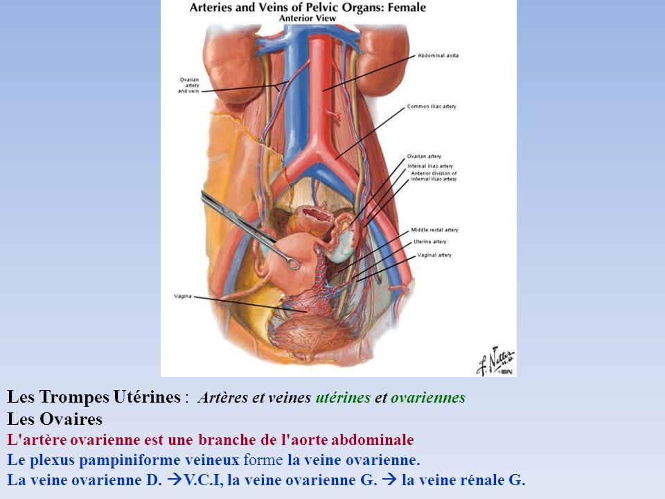Les Trompes Utérines : Artères et veines utérines et ovariennes Les Ovaires L'artère ovarienne est une branche de l'aorte abdominale Le plexus pampini