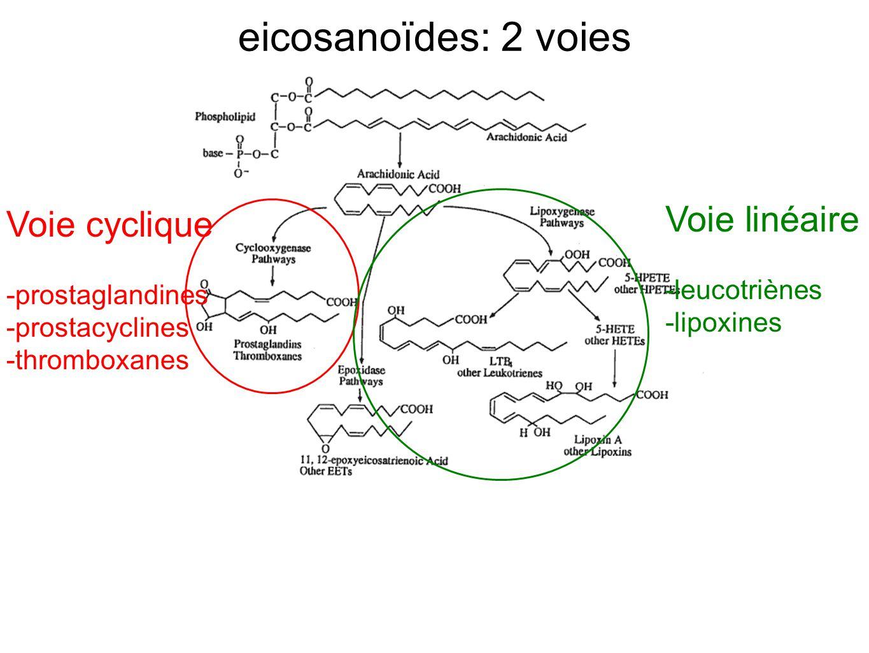 eicosanoïdes: 2 voies Voie cyclique -prostaglandines -prostacyclines -thromboxanes Voie linéaire -leucotriènes -lipoxines