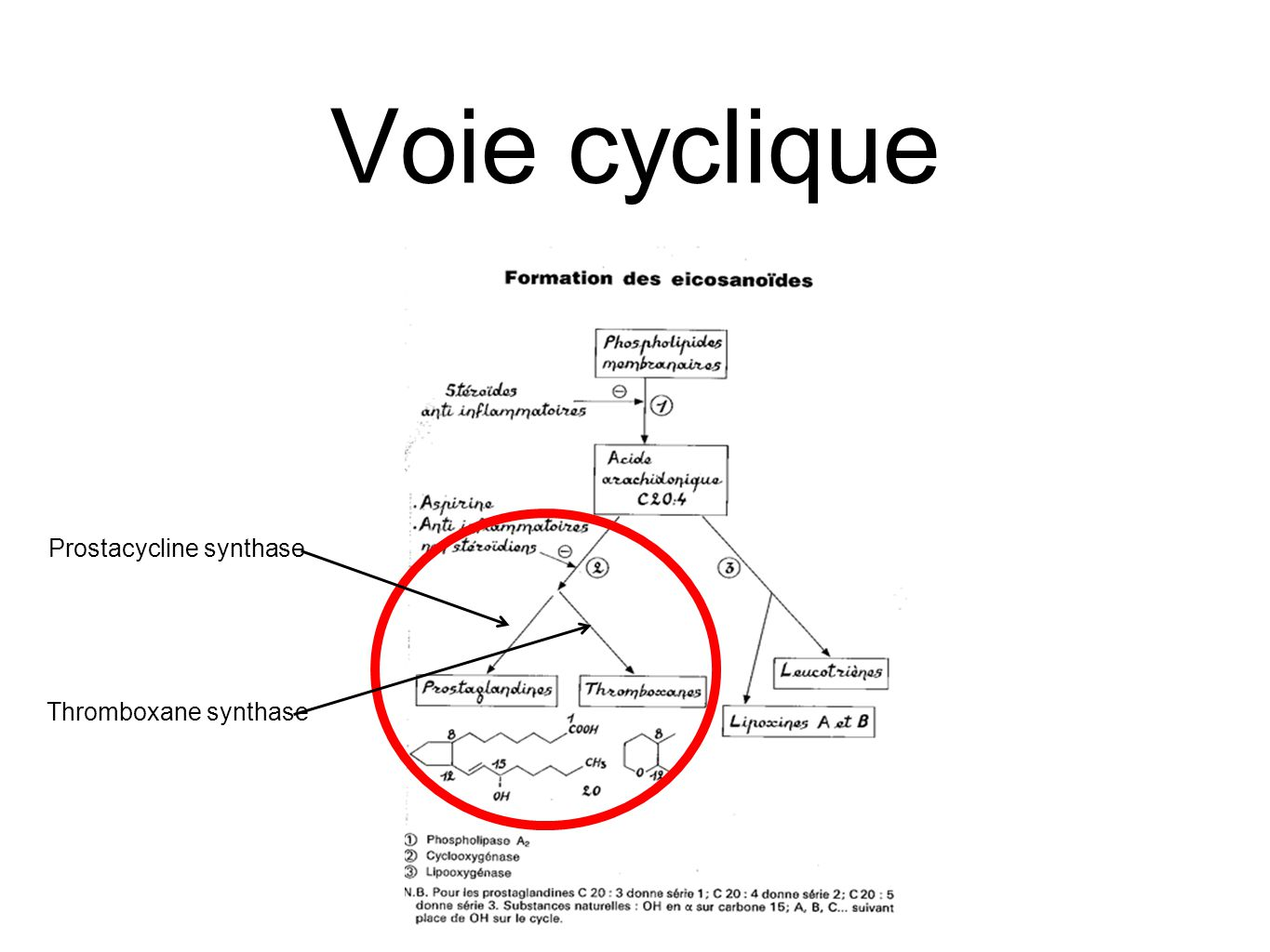 Voie cyclique Prostacycline synthase Thromboxane synthase