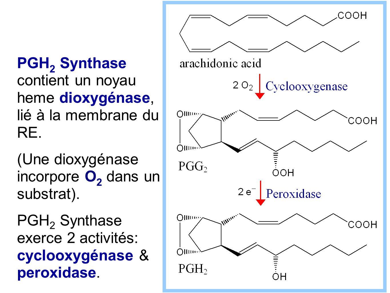 PGH 2 Synthase contient un noyau heme dioxygénase, lié à la membrane du RE. (Une dioxygénase incorpore O 2 dans un substrat). PGH 2 Synthase exerce 2