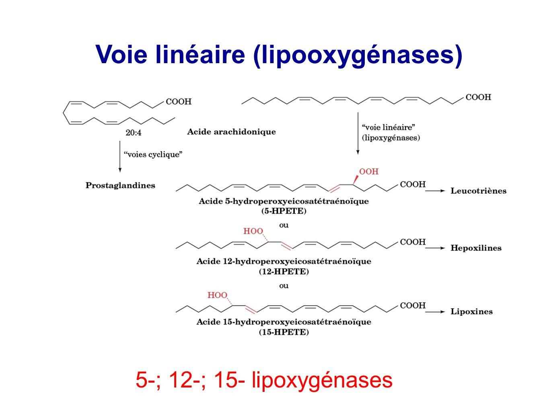 Voie linéaire (lipooxygénases) 5-; 12-; 15- lipoxygénases