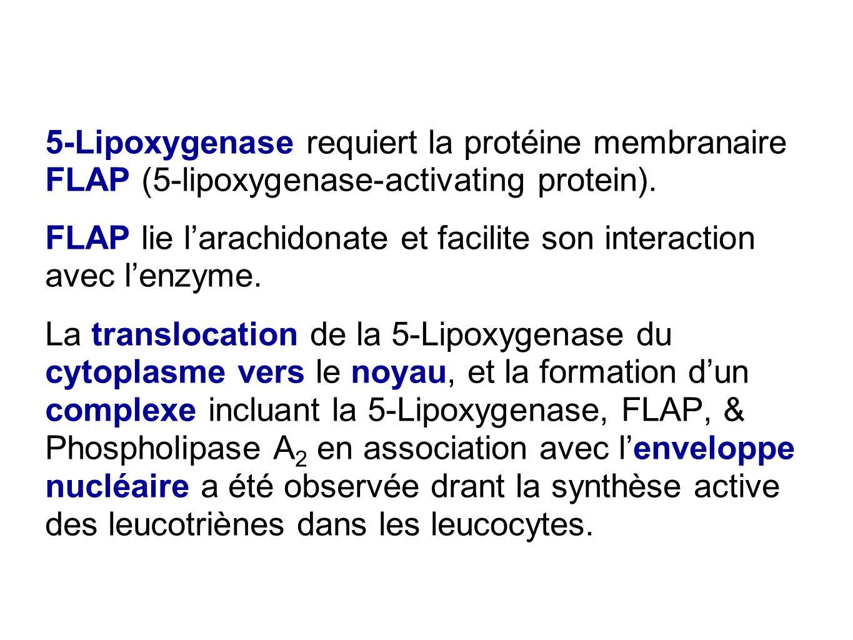 5-Lipoxygenase requiert la protéine membranaire FLAP (5-lipoxygenase-activating protein). FLAP lie l'arachidonate et facilite son interaction avec l'e
