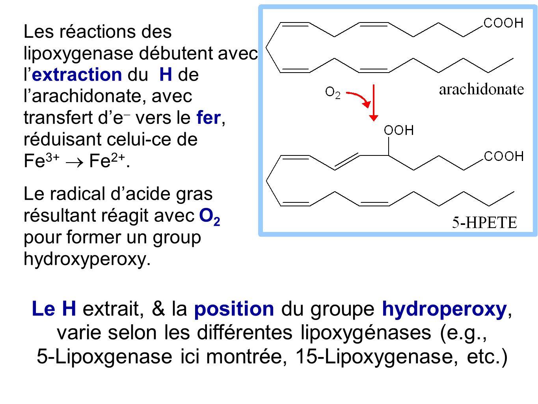 Les réactions des lipoxygenase débutent avec l'extraction du H de l'arachidonate, avec transfert d'e  vers le fer, réduisant celui-ce de Fe 3+  Fe 2