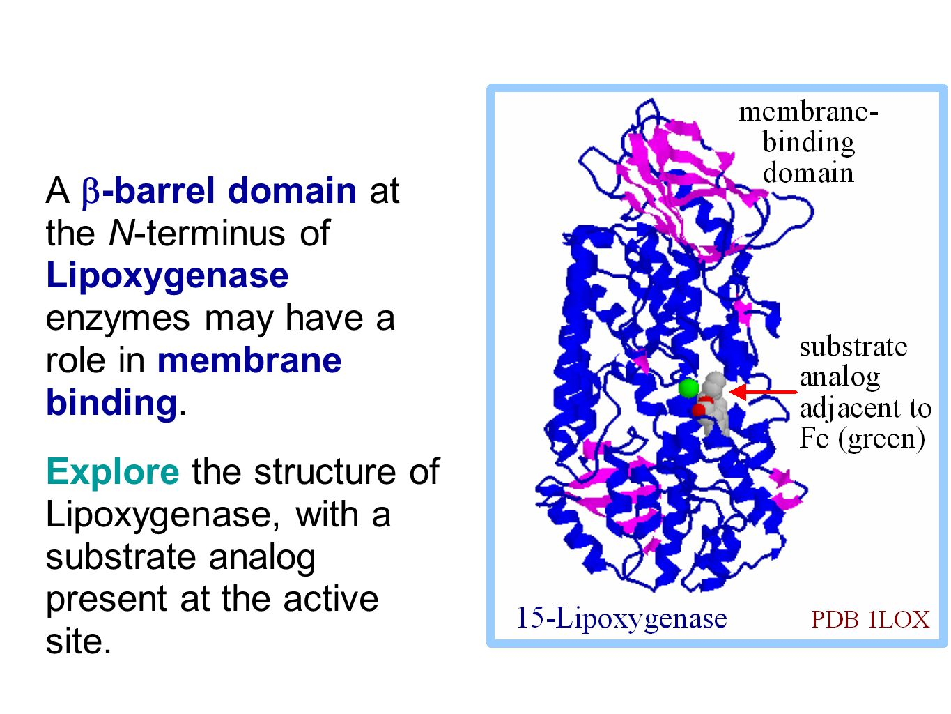 A  -barrel domain at the N-terminus of Lipoxygenase enzymes may have a role in membrane binding.