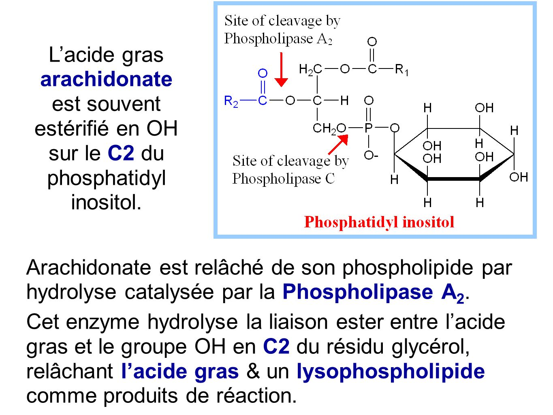 Arachidonate est relâché de son phospholipide par hydrolyse catalysée par la Phospholipase A 2. Cet enzyme hydrolyse la liaison ester entre l'acide gr