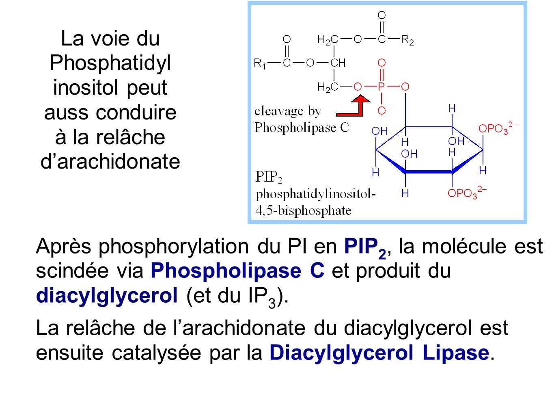 Après phosphorylation du PI en PIP 2, la molécule est scindée via Phospholipase C et produit du diacylglycerol (et du IP 3 ). La relâche de l'arachido