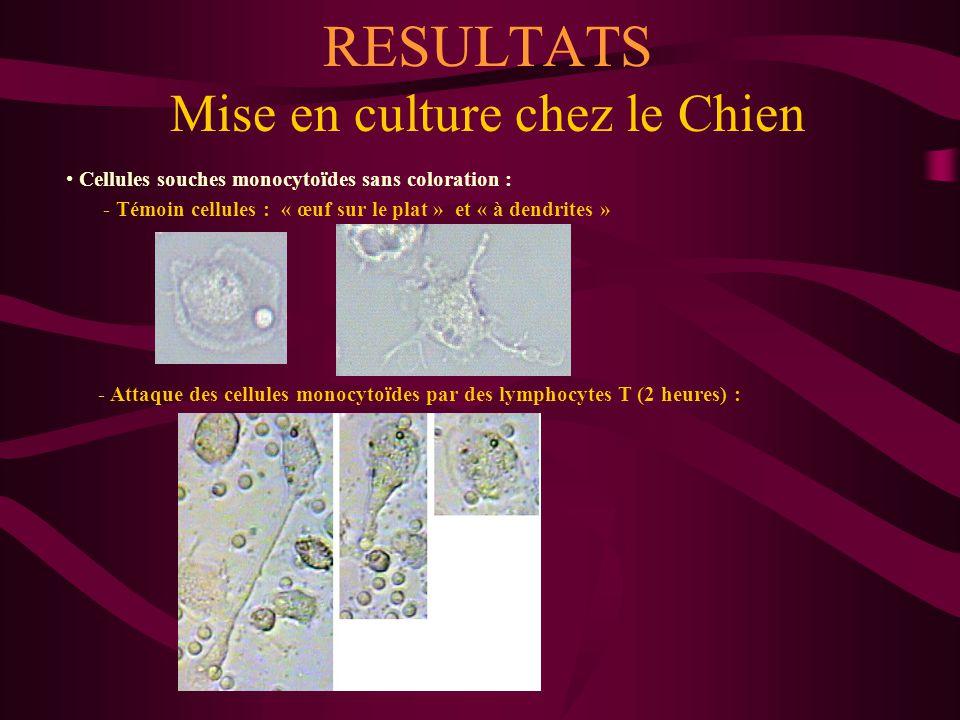 RESULTATS Mise en culture chez le Chien Cellules souches monocytoïdes sans coloration : - Cellules monocytoïdes reconnues par des lymphocytes T stimulés par PHA et IL2 : - Destruction d'une cellule monocytoïde par les lymphocytes T stimulés :