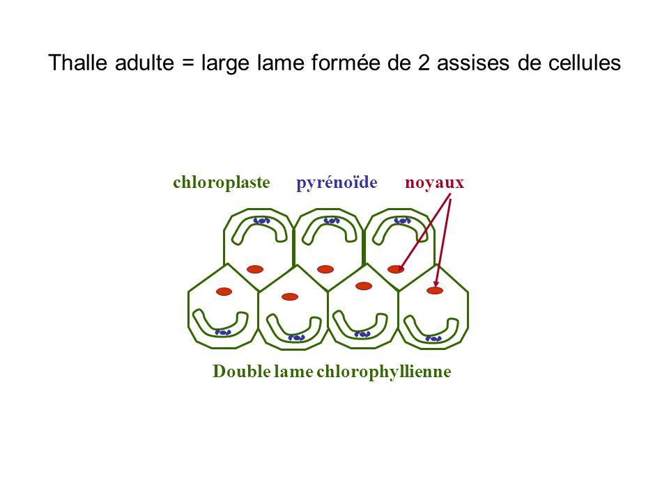 Thalle adulte = large lame formée de 2 assises de cellules noyauxchloroplastepyrénoïde Double lame chlorophyllienne