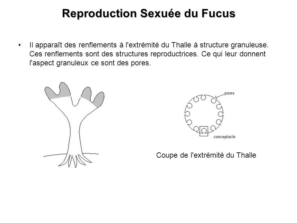 Reproduction Sexuée du Fucus Il apparaît des renflements à l'extrémité du Thalle à structure granuleuse. Ces renflements sont des structures reproduct