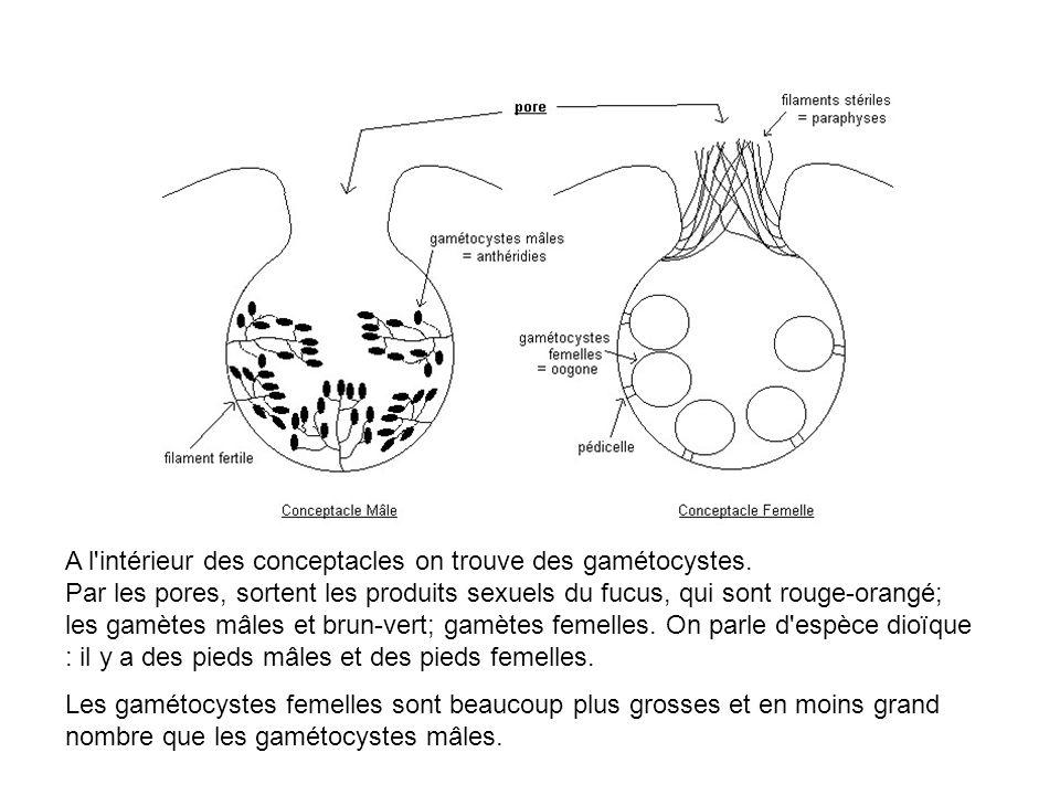 A l'intérieur des conceptacles on trouve des gamétocystes. Par les pores, sortent les produits sexuels du fucus, qui sont rouge-orangé; les gamètes mâ