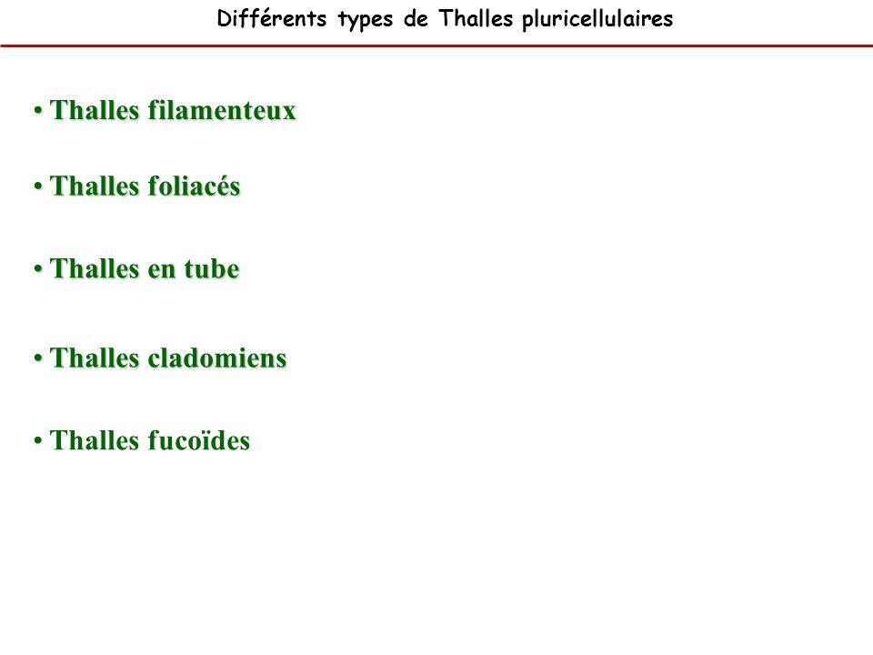 Thalles foliacés Thalles foliacés Thalles filamenteux Thalles filamenteux Thalles cladomiens Thalles cladomiens Thalles en tube Thalles en tube Thalle