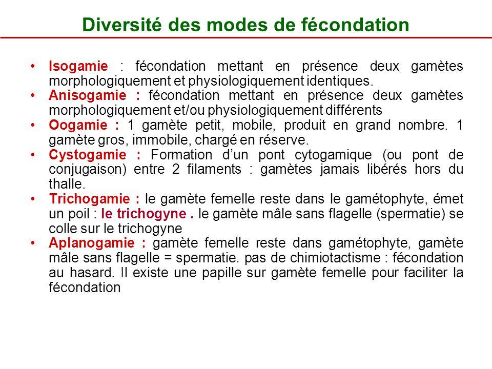 Diversité des modes de fécondation Isogamie : fécondation mettant en présence deux gamètes morphologiquement et physiologiquement identiques. Anisogam