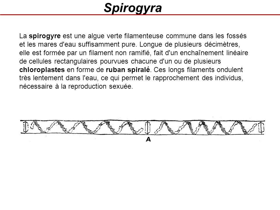 Spirogyra La spirogyre est une algue verte filamenteuse commune dans les fossés et les mares d'eau suffisamment pure. Longue de plusieurs décimètres,