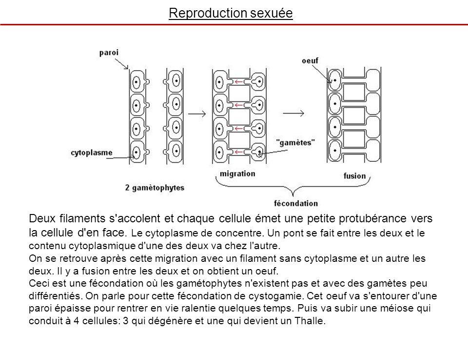 Reproduction sexuée Deux filaments s'accolent et chaque cellule émet une petite protubérance vers la cellule d'en face. Le cytoplasme de concentre. Un
