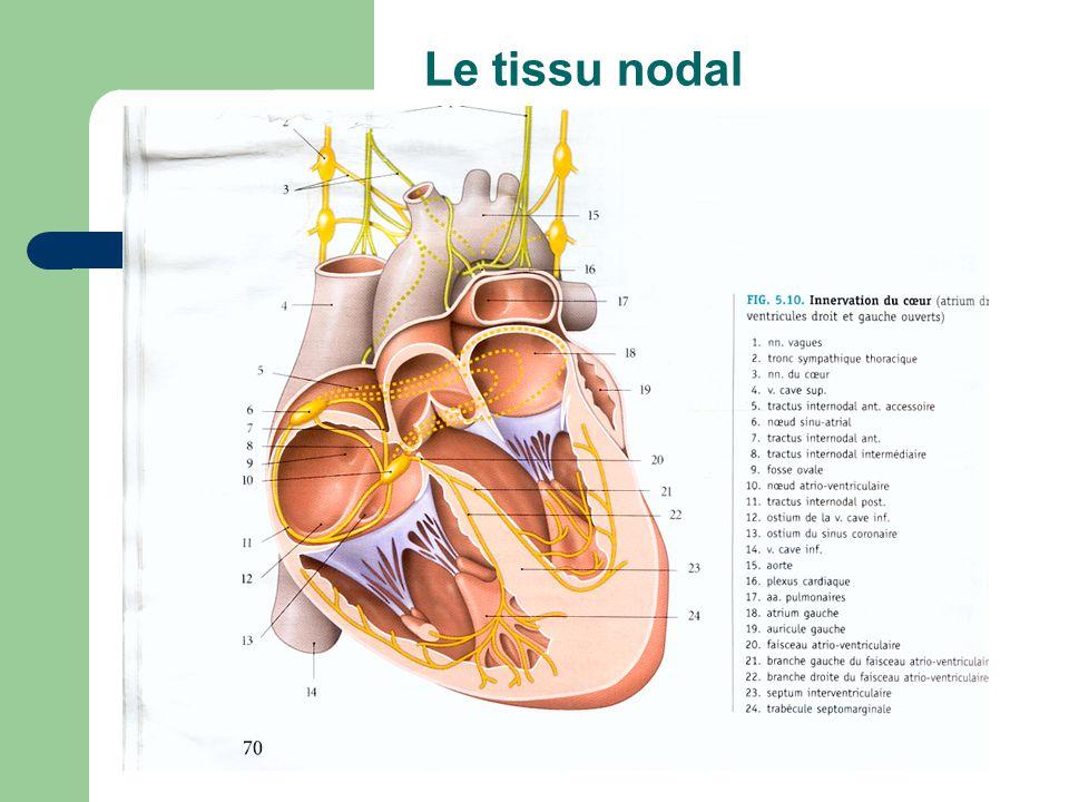 Le tissu nodal