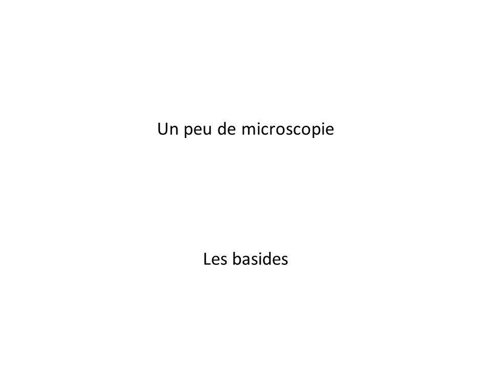 Un peu de microscopie Les basides