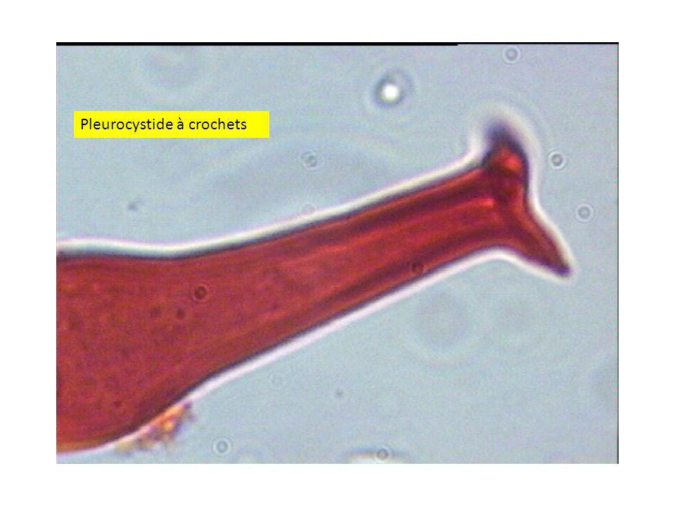 Pleurocystide à crochets