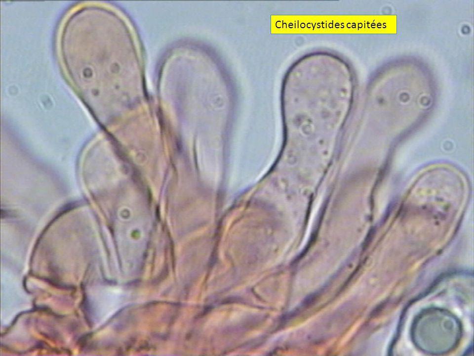 Cheilocystides capitées