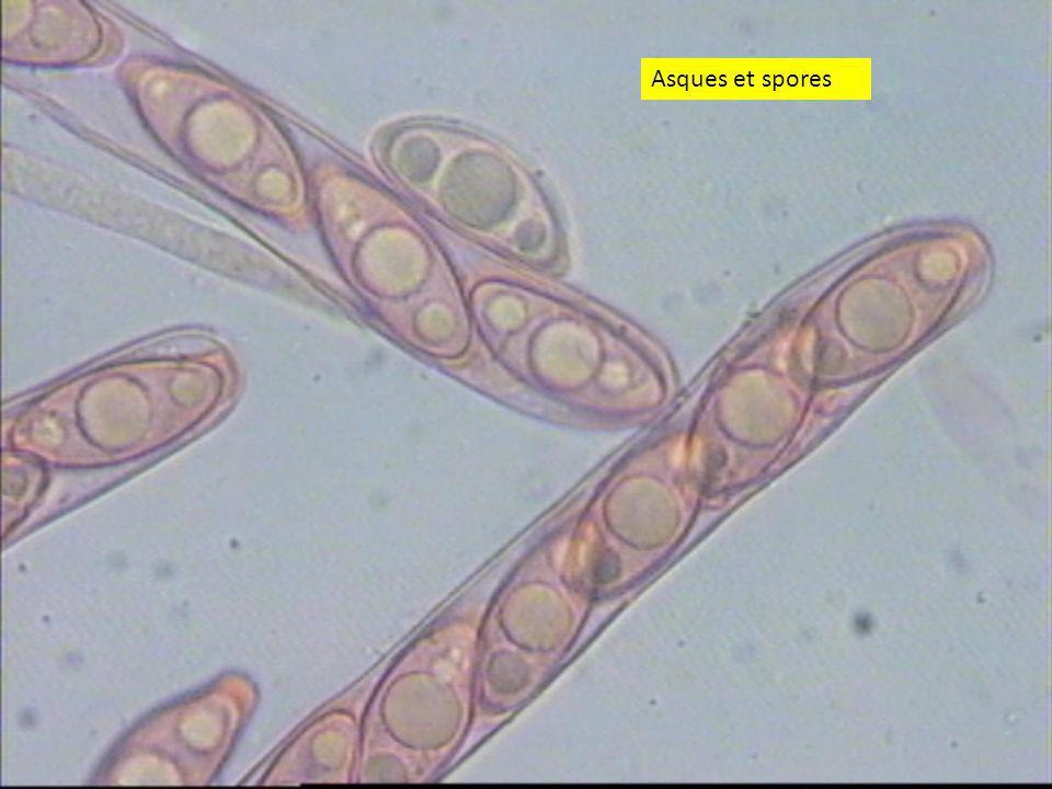 Asques et spores