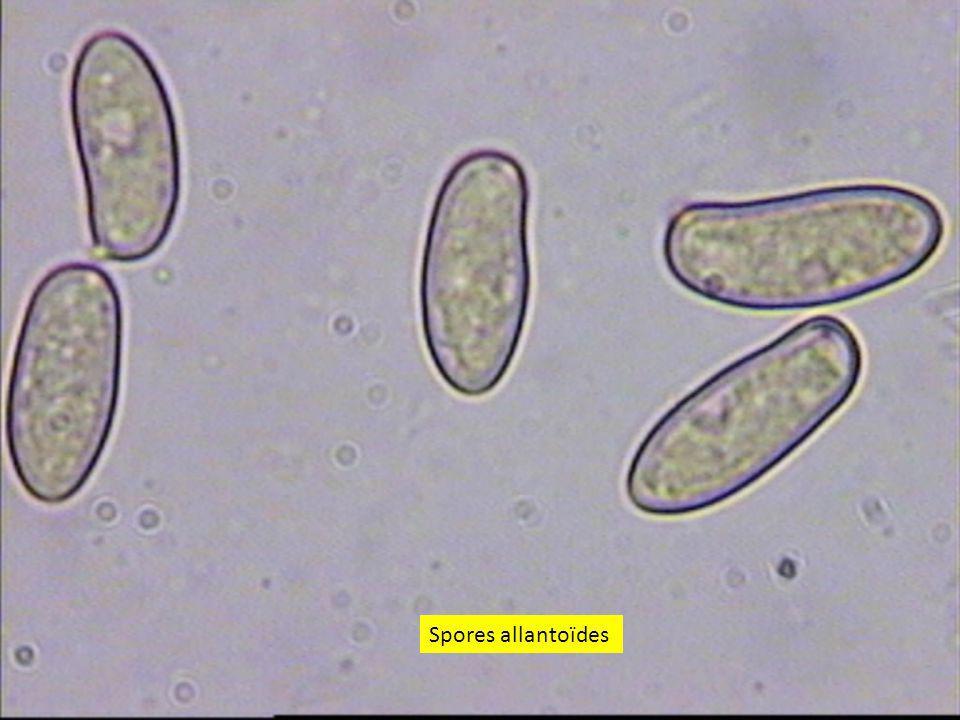 Spores allantoïdes
