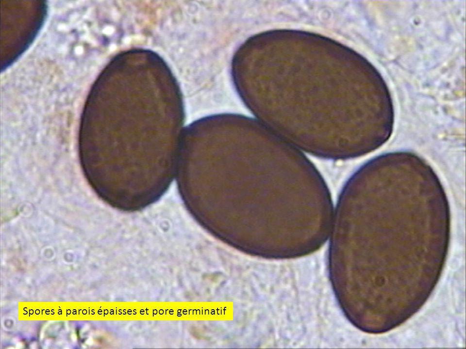 Spores à parois épaisses et pore germinatif