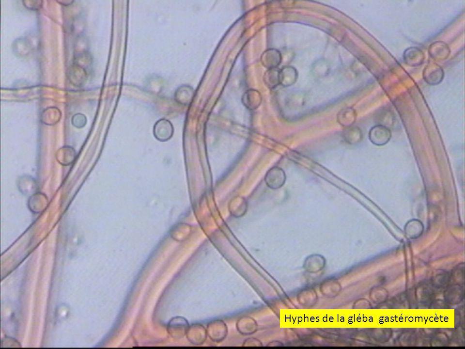 Hyphes de la gléba gastéromycète