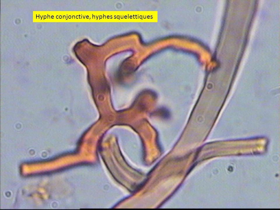 Hyphe conjonctive, hyphes squelettiques