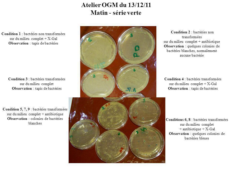 Condition 1 : bactéries non transformées sur du milieu complet + X-Gal Observation : tapis de bactéries Condition 2 : bactéries non transformées sur du milieu complet + antibiotique Observation : quelques colonies de bactéries blanches, normalement aucune bactérie Condition 3 : bactéries transformées sur du milieu complet Observation : tapis de bactéries Condition 4 : bactéries transformées sur du milieu complet + X-Gal Observation : tapis de bactéries Condition 5,7 : bactéries transformées sur du milieu complet + antibiotique Observation : colonies de bactéries blanches Conditions 6, 8, : bactéries transformées sur du milieu complet + antibiotique + X-Gal Observation : quelques colonies de bactéries bleues Atelier OGM du 13/12/11 Matin - série rouge