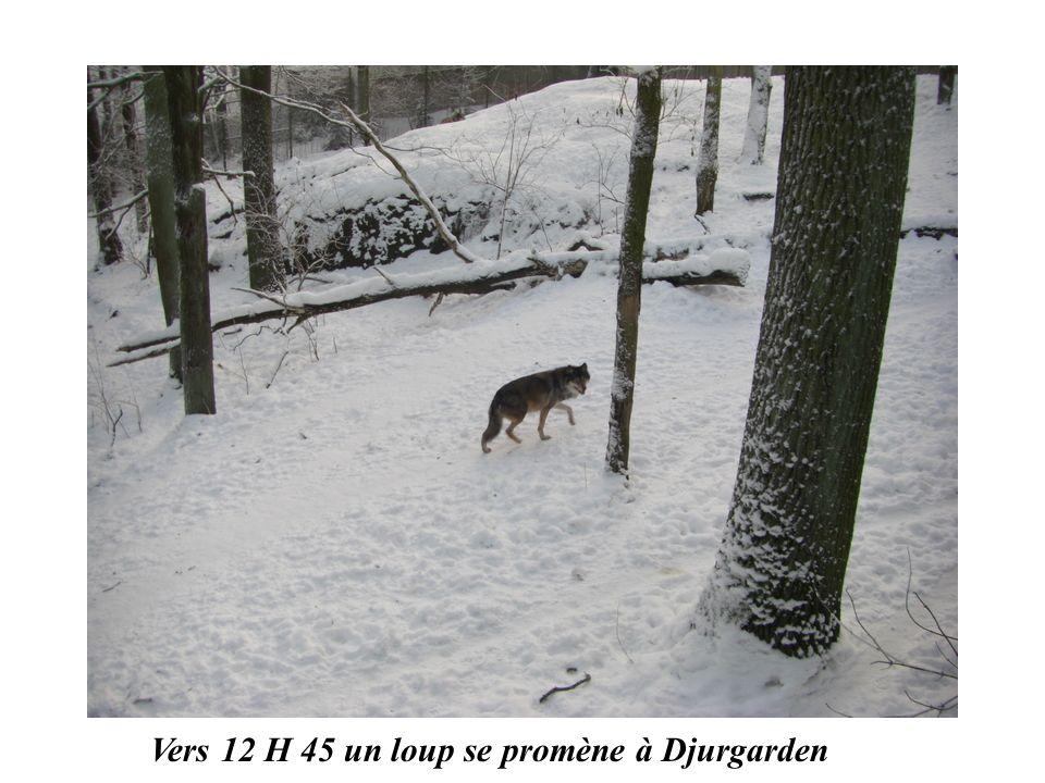 Vers 12 H 45 un loup se promène à Djurgarden