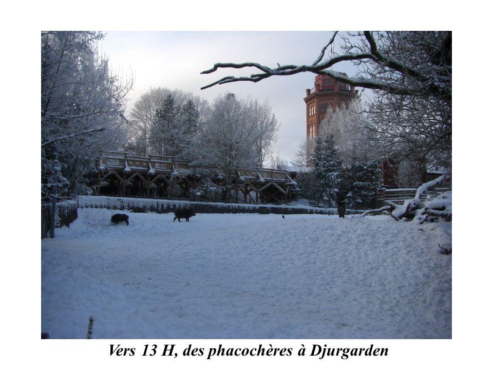 Vers 13 H, des phacochères à Djurgarden