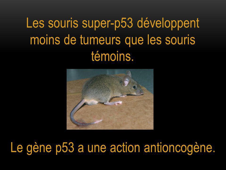 Les souris super-p53 développent moins de tumeurs que les souris témoins.