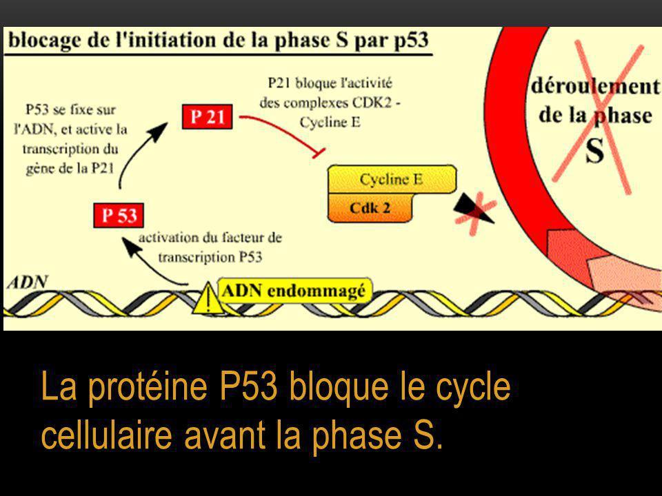 La protéine P53 bloque le cycle cellulaire avant la phase S.